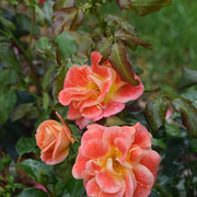 roze25