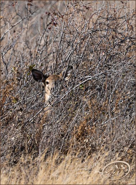 whitetail-fawn-CAS08077.jpg