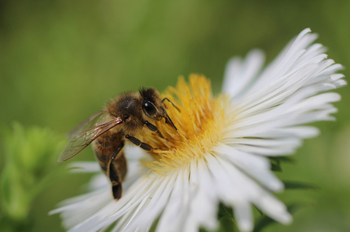 An image of a honeybee.