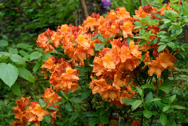09-Rhododendron-Knap-Hill-Gruppen-Glowing-Embers-01