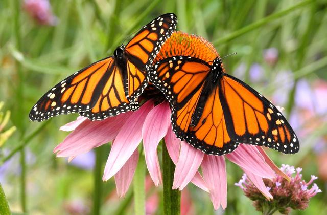 Как бабочкам удается преодолевать большие расстояния?