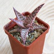 Aloe-hybrid-1-01
