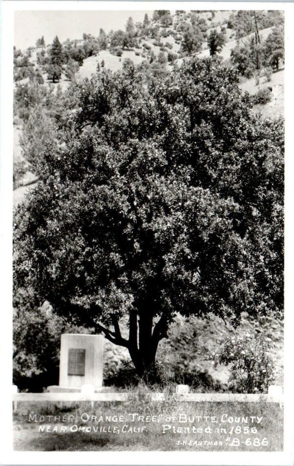 Oroville-Tree