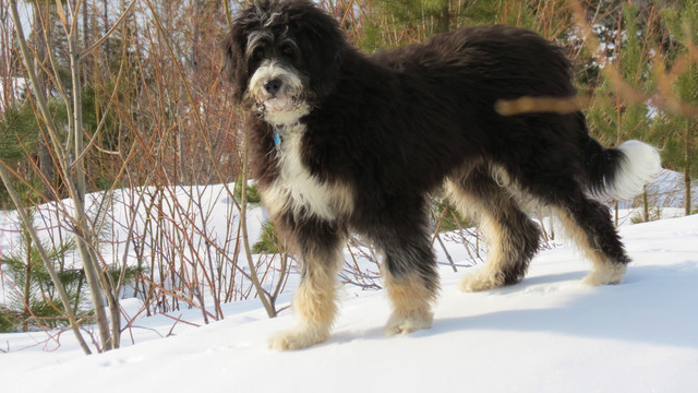 It is only a single one of 4 degrees of Swiss Mountain Dog, the particular other 3 being really Appenzeller Sennenhund, the bernese mountain blend Entlebucher Sennenhund, and the Greater Swiss Mountain Dog.   Website : https://www.puppiesclub.com/bernedoodle/