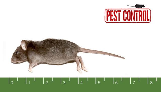 rats-we