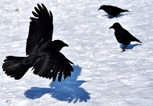 Ravens are a common omen for a hero's return in the King in the Mountain trope.