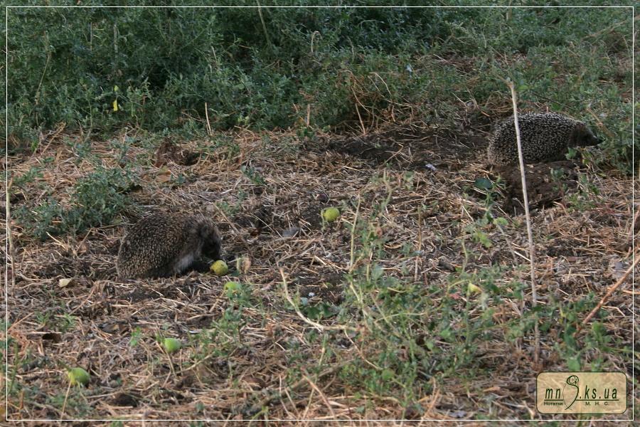 Їжак білочеревий (Erinaceus roumanicus). Чорноморський біосферний заповідник, ділянка Ягорлицький Кут