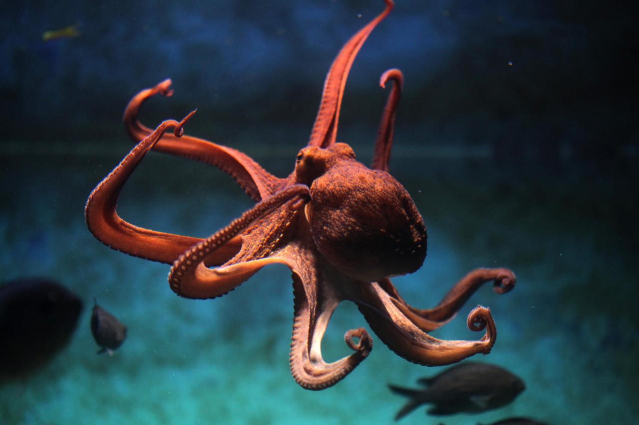 ODLIČNO PAMTE I MAJSTORI SU BIJEGA! Evo još par činjenica o hobotnicama!