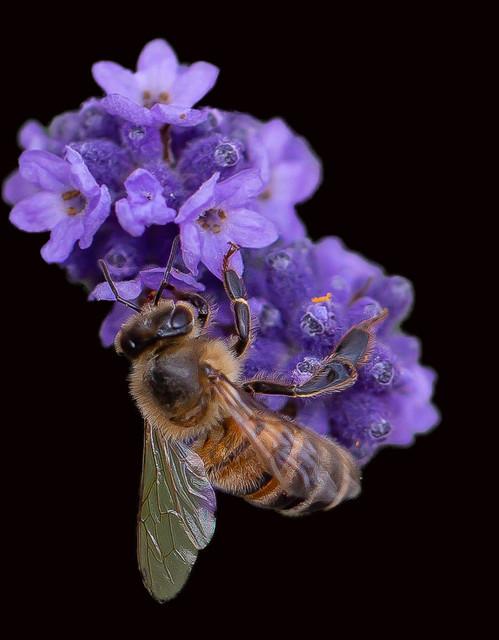 abeille-sur-fond-noir