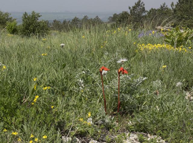 Phelypaea coccinea