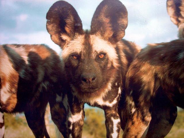 African-Wild-Dog-3