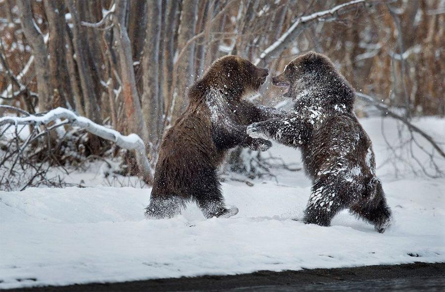 Невероятные фотографии медведей 9