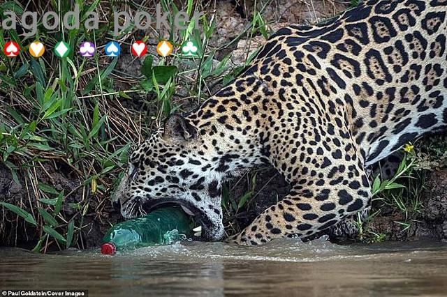 Sedih, Jaguar Ini Tertangkap Kamera Menggigit Sampah Plastik