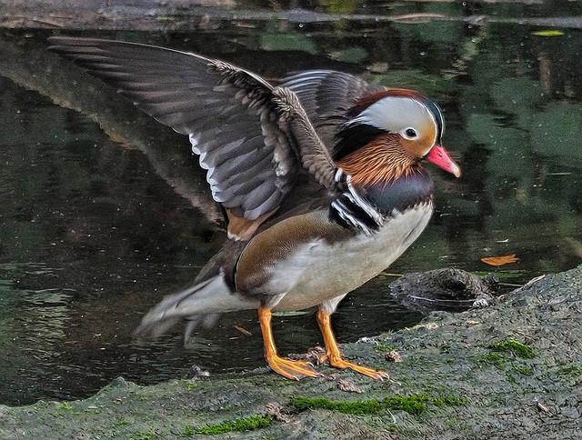 -Mandarin Duck M16s.jpg