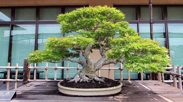 Love Bonsai? Here are the 10 most expensive types of bonsai trees
