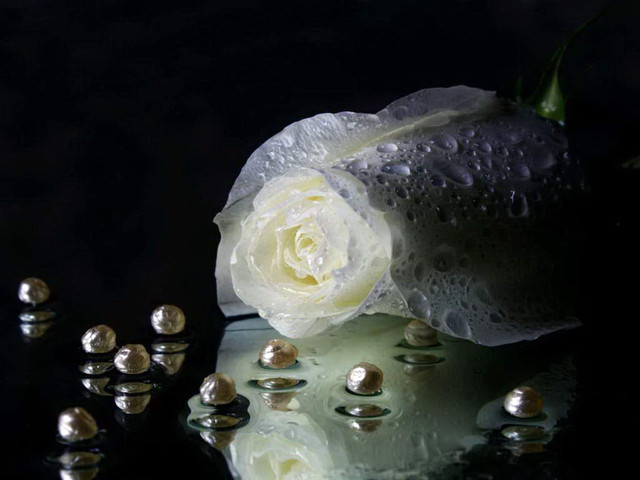 Best White Rose Wallpapers 2