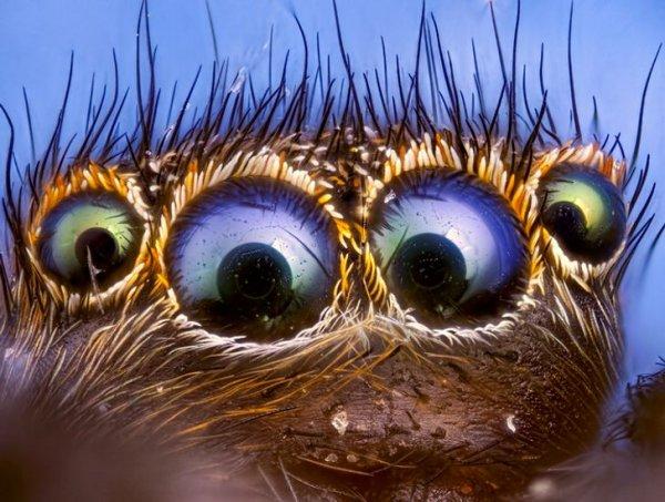 Глазастый паучок