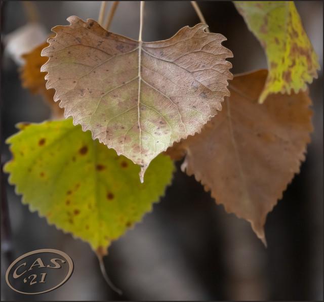 poplar-leaves-CAS07980.jpg