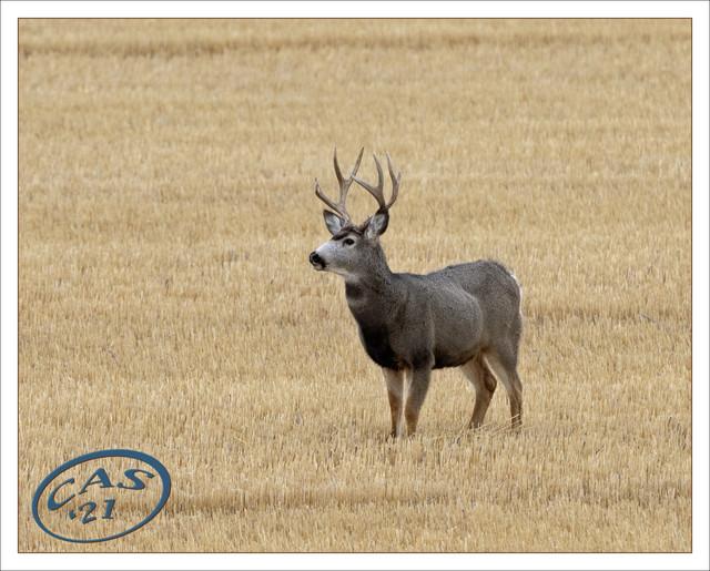 mule-buck-CAS06833.jpg