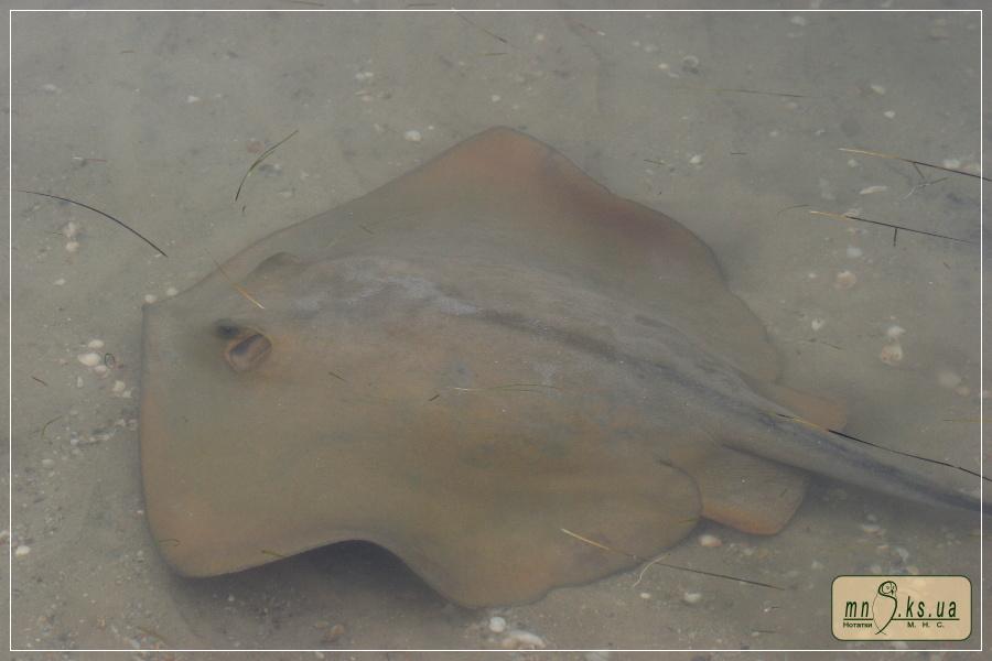 Морський кіт (Dasyatis pastinaca) в Чорноморському біосферному заповіднику