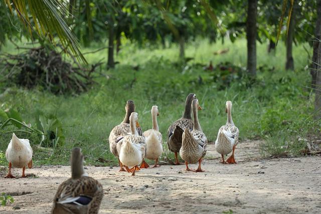 ducks-4230463-960-720