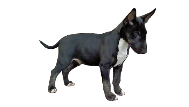 old-english-terrier-staffordshire-bull-terrier-american-pit-bull-terrier-png-favpng-zn-Qj-CK12-R0-Jj.png