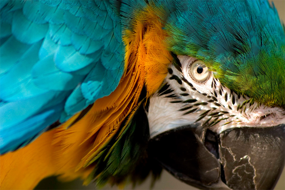 eye-of-the-macow-parrot