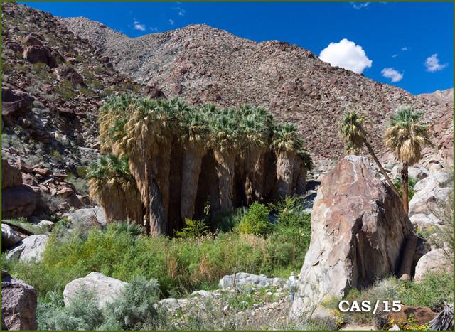 California-Fan-Palm-Washingtonia-filifera-DSC04691.jpg