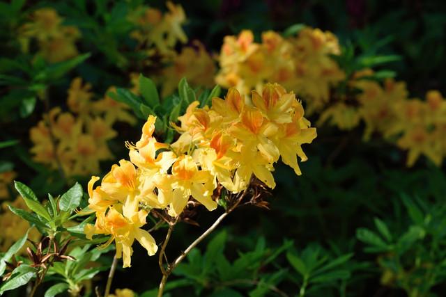 04-Rhododendron-Knap-Hill-Gruppen-Golden-Flare-DSC-9799