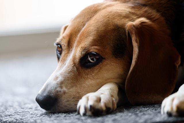 puppy-dog-animal-cute-canine-pet-fur-mammal-hound-close-up-nose-snout-ears-vertebrate-beagle-resting