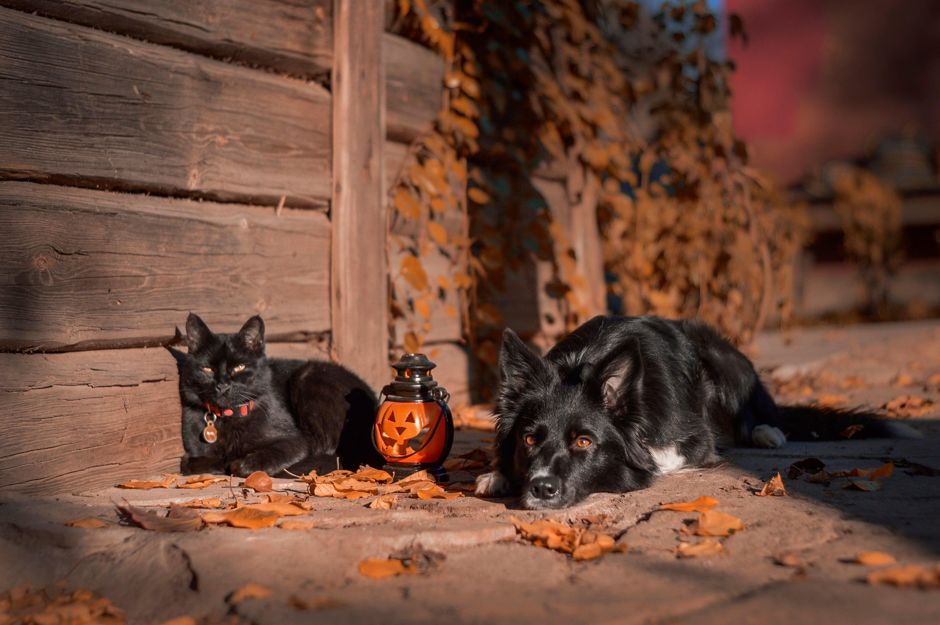cat & dog halloween