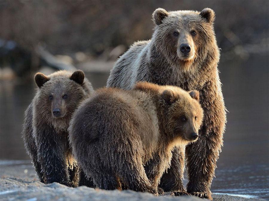 Невероятные фотографии медведей 17