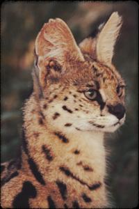 https://i.ibb.co/jr0XwQf/serval-portrait-anup-shah.png