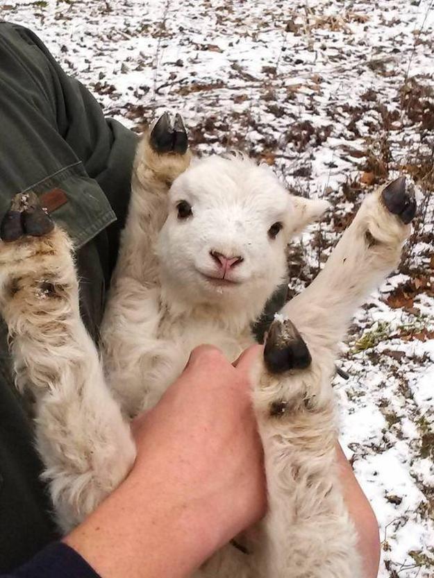 https://i.ibb.co/kGMTtk9/The-34-Cutest-Baby-Pygmy-Goats-On-The-Internet.jpg