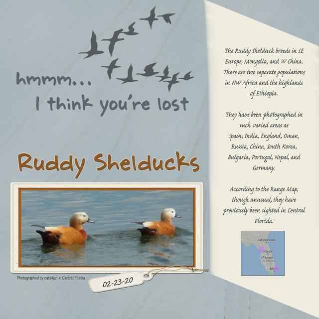 Ruddy-Shelducks