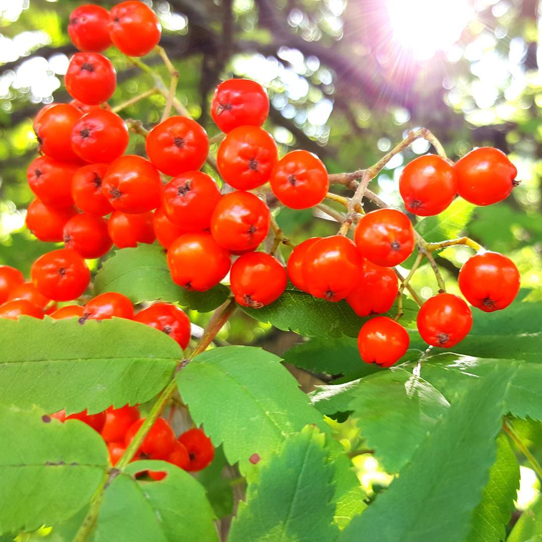 An image of rowan berries by Icy Sedgwick.