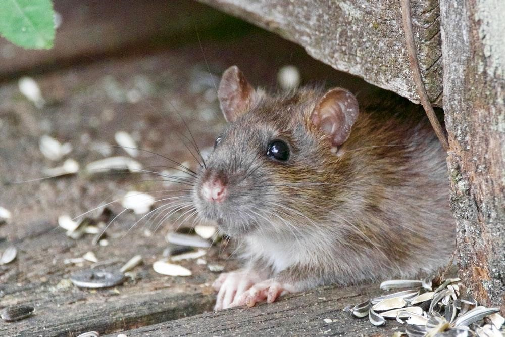 Why Are Rats Coming into My Home?