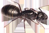 Camponotus-pennsylvanicus