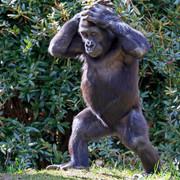 gorilla-110-v-HDready