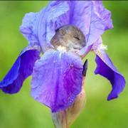 iris-mouse2