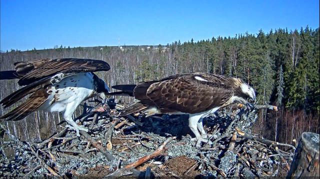 Estonian Osprey Nest (Marko & Miina) 2019 - Page 12
