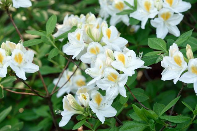 05-Rhododendron-Knap-Hill-Persil-DSC-9758