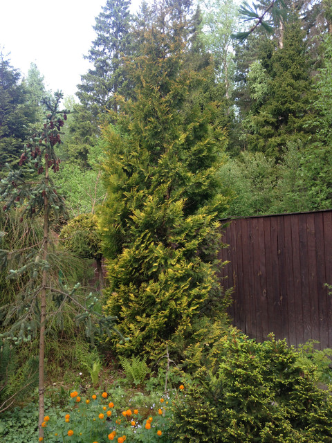 Thuja occidentalis Yellow Ribbon.jpg
