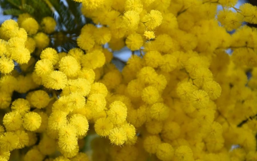 mimozavesnatsvetenie-yapfiles-ru