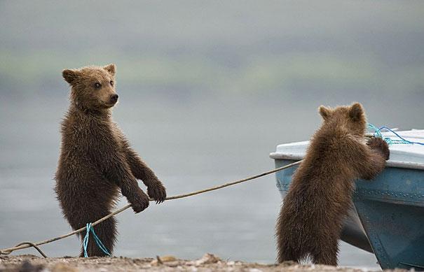 Медведи, такие медведи-6