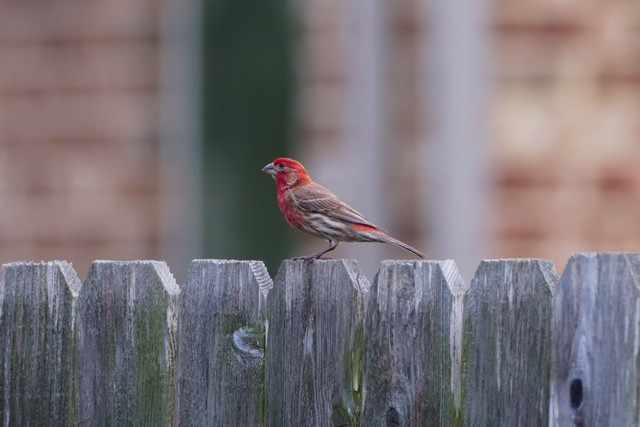 house-finch-Haemorhous-mexicanus-2.jpg