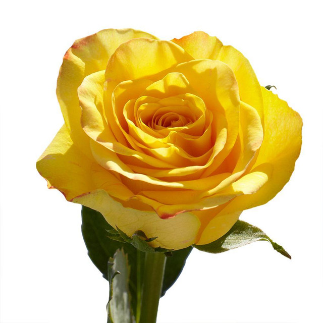 Yellow Roses Meaning