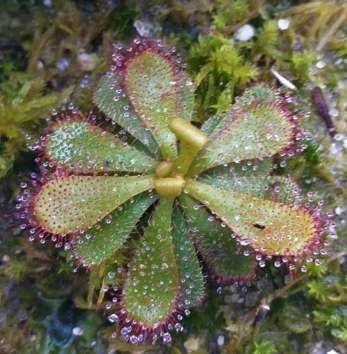 Drosera-hamiltonii.jpg