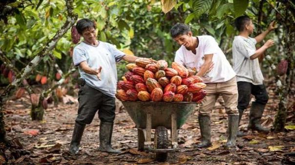 productores-de-cacao-de-san-martin-producen-mas-de-22-mil-litros-de-biofertilizantes