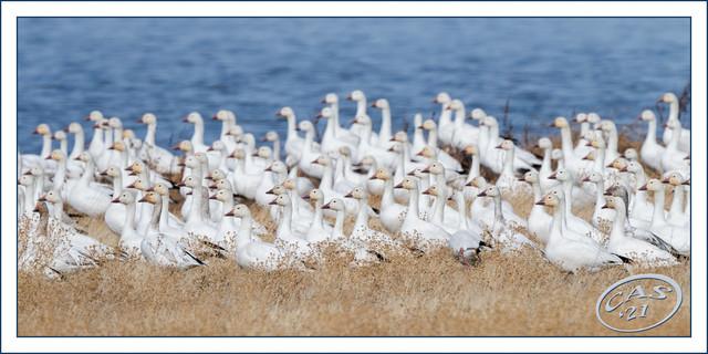 snow-geese-CAS03614